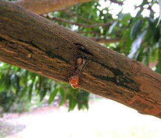 Canker on the branch of a fruit tree with a drop of sap.