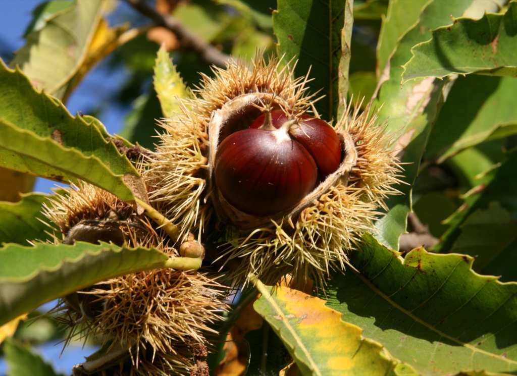 Two chestnuts in their husk on a branch with leaves.