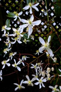 Clematis armandii vine blooming with white five-petaled flowers along a lattice of crisscrossing wood.