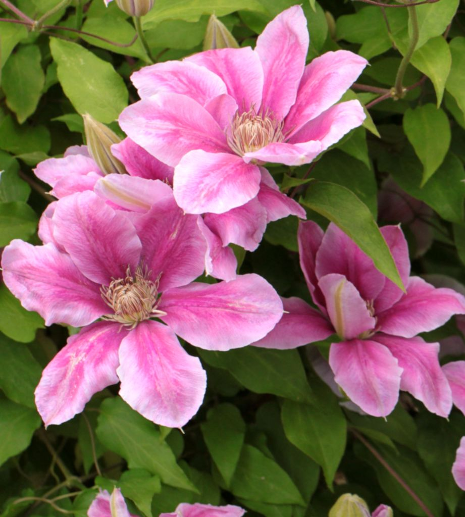 Pink and white clematis flowers on the vine.