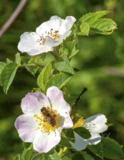 Dog rose blooms with bee foraging on them.