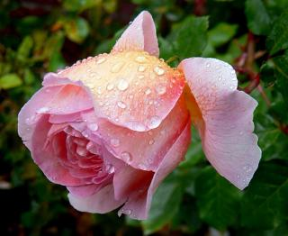Dew-covered English rose