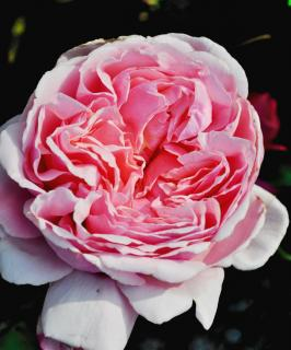 Double-flowered English rose