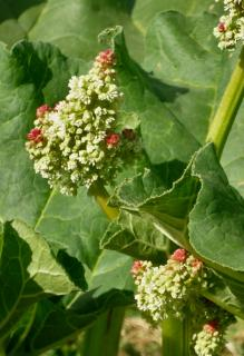 Rhubarb, fermented, is excellent pest-combating tea