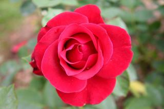 Characteristics, size, fragrance of the Georges Truffaut Rose