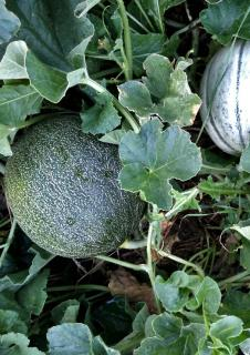 Melon growing in a vegetable patch