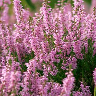 Pink heather, Calluna vulgaris