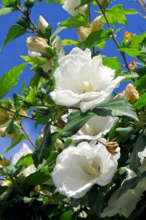 White hibiscus shrub in full bloom with blue sky in the background.