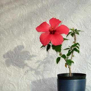 A simple red-flowered hibiscus in a pot sends a cute shadow on a wall.