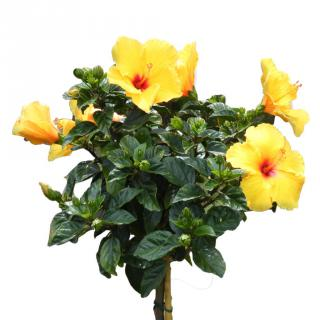 Yellow hibiscus pruned and trimmed to look like a small tree.