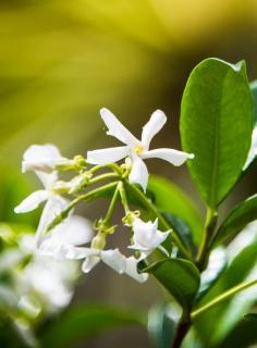 Blooming Indian jasmine vine