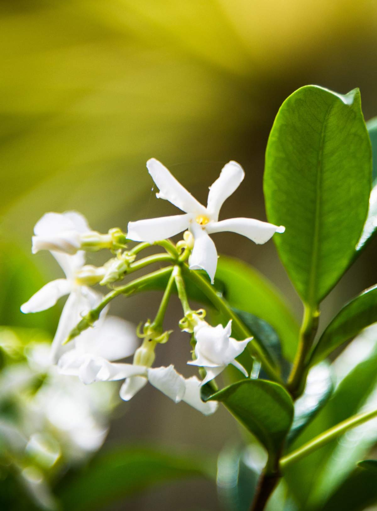 Blooming Indian jasmine vine