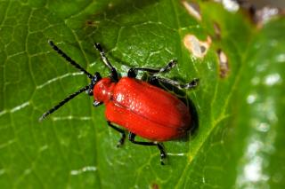 Red beetle on lily leaves