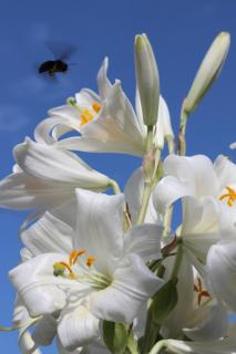White lily flowers with a pollinator