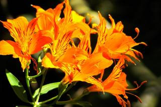 Lily flowers come in different colors, like orange