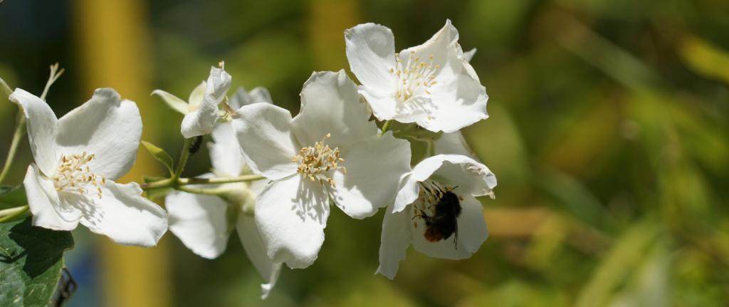 Mock-orange shrub with bumblebee