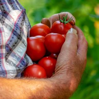 Gardener with an armful of ripe tomatoes