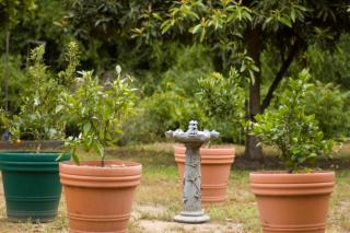 Potted orange tree