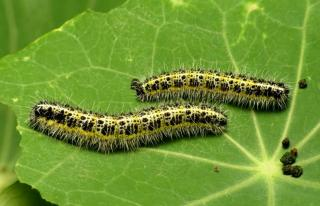 Two caterpillars on a nasturtium leaf with pellets of waste.