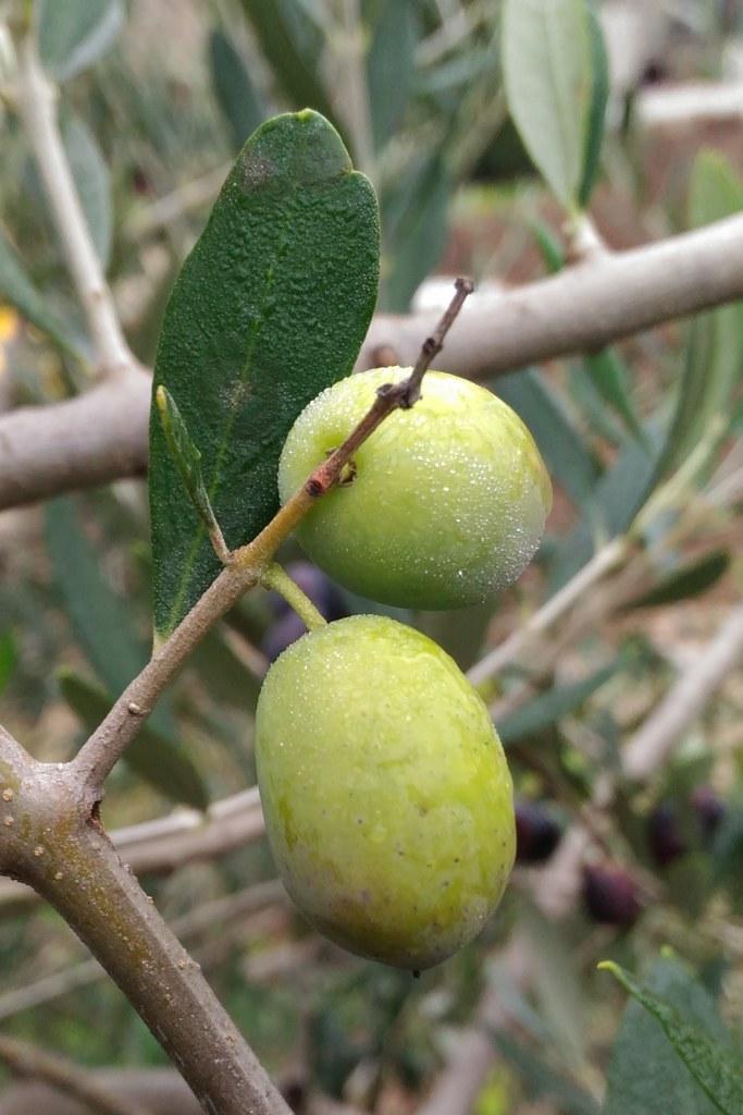 'Picholine' olives, a taste of Provence