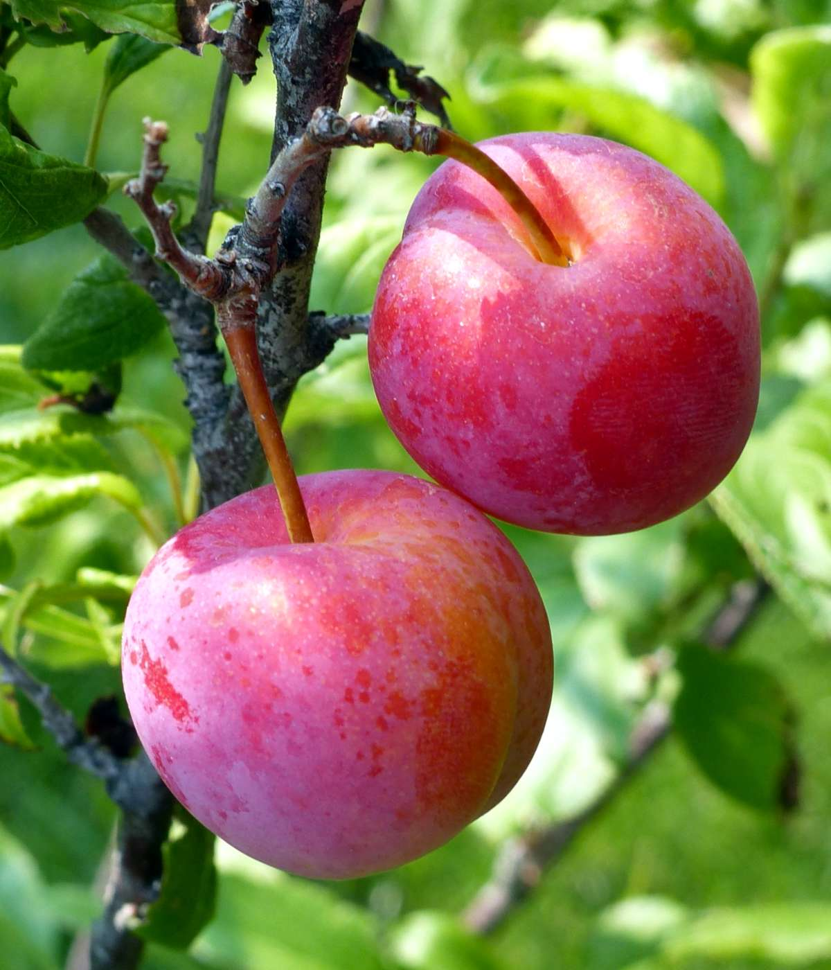 Plums on a plum tree