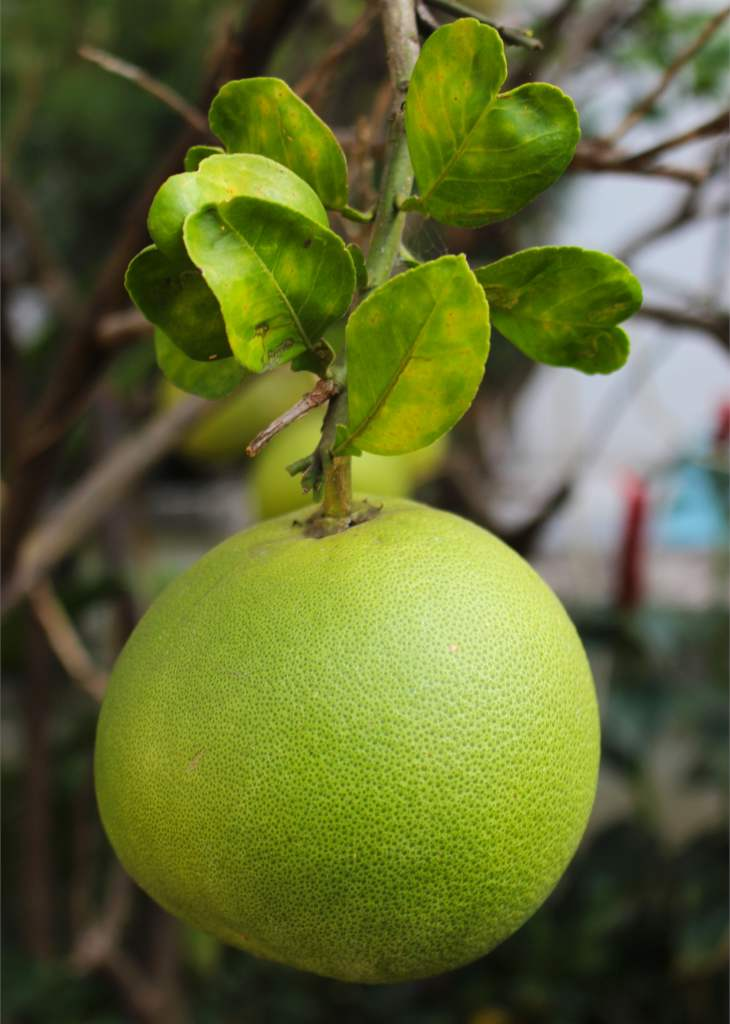 Large round green pomelo fruit hanging from a branch.