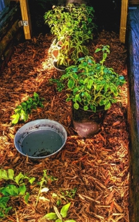 An impatiens remains potted but benefits from being in the ground for water and nutrients.