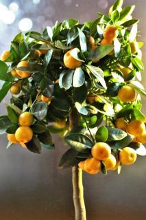 Citrus mitis, growing it in a pot