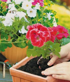 Potting soil used for geranium flowers