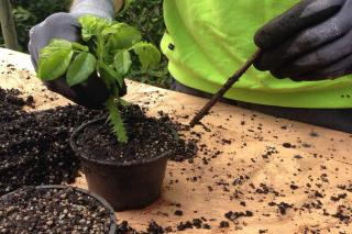 Preparing cuttings from a rose tree