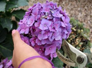 Pruning and trimming a hydrangea