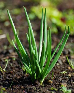 Shallot growing healthily