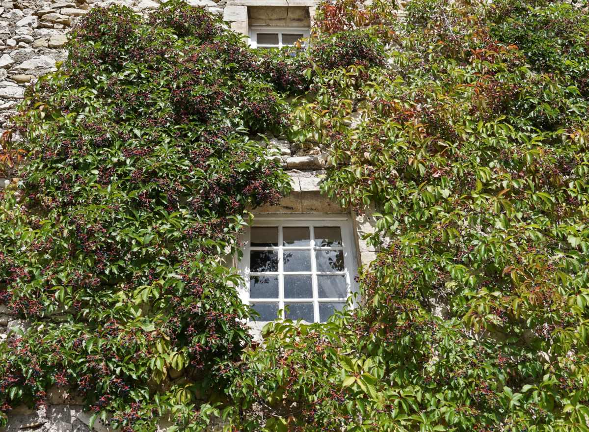 Lovely virginia creeper climbing up a stone wall with a window