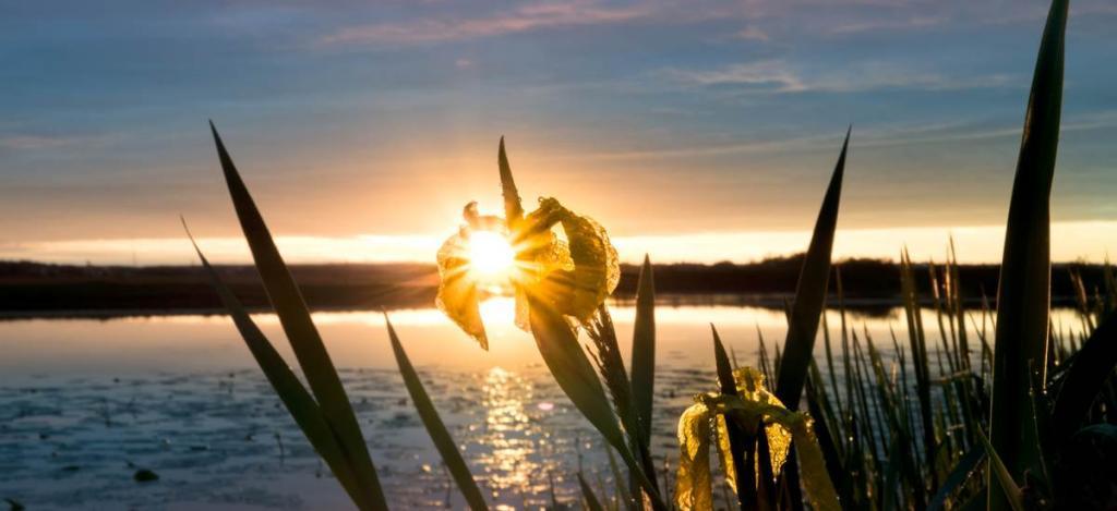 Sunset on yellow iris
