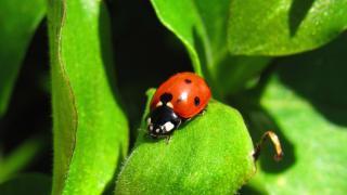 Ladybug in garden