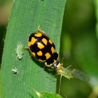Ladybug eating pests