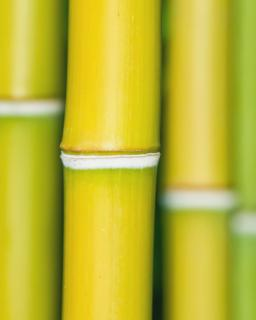 Bamboo stems close-up.