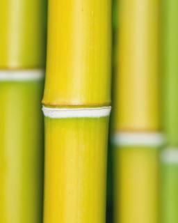 Bamboo stems close-up.