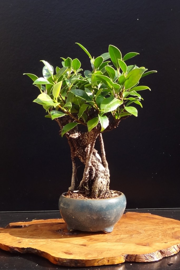 Ficus Microcarpa Bonsai Pruning Watering Care And Pest Management