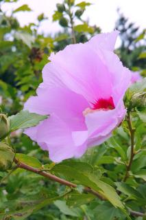 Pale pink Rose of Sharon with a delicate-looking bloom.