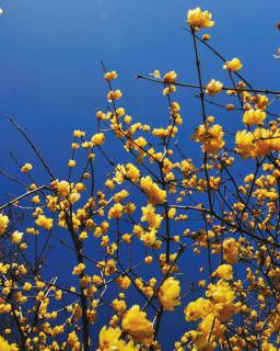 Yellow-blooming chimonanthus against deep blue sunny sky.