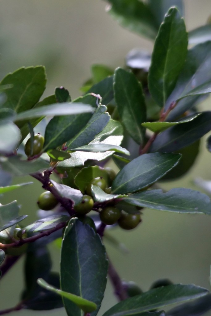 Close-up of dwarf yaupon holly leaves and unripe berries.