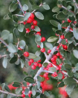 Leaves and berries on an Ilex vomitoria twig.