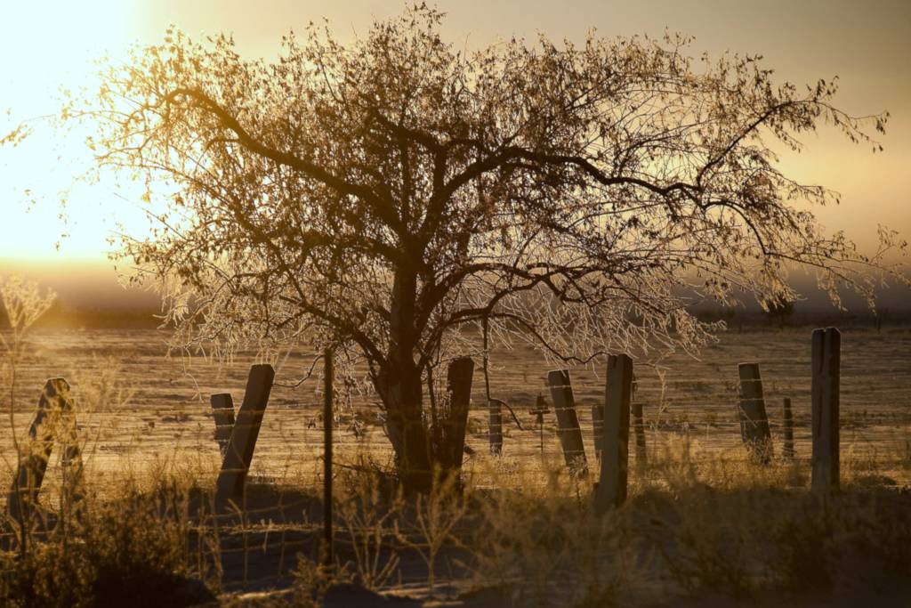 Olive tree and fence covered with frost at sunset.