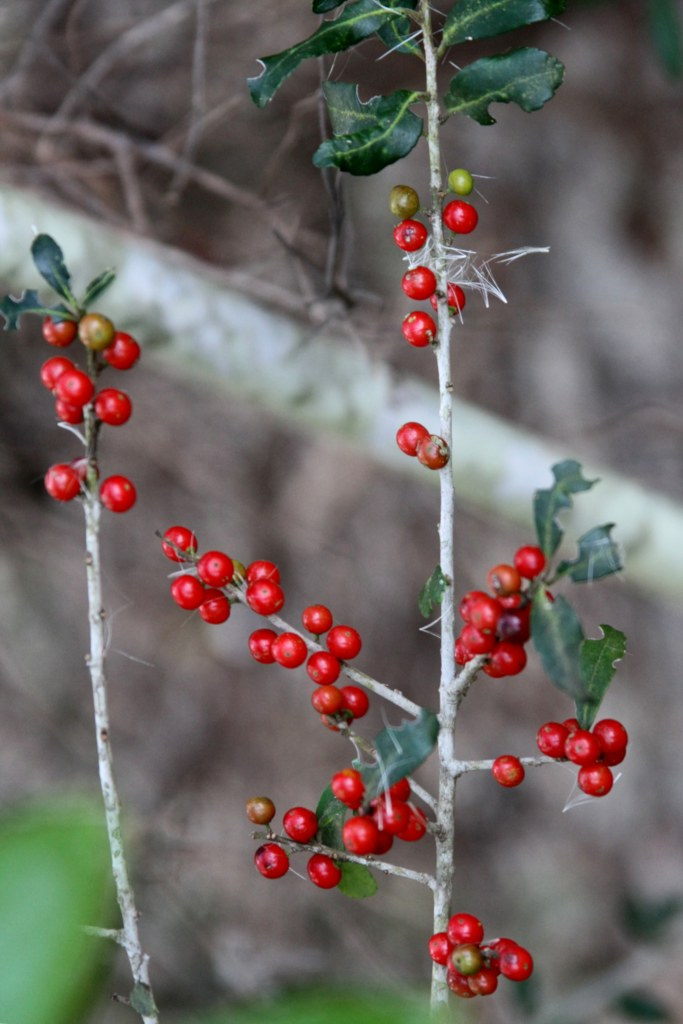 Yaupon holly branches with a few green leaves and bright red berries.