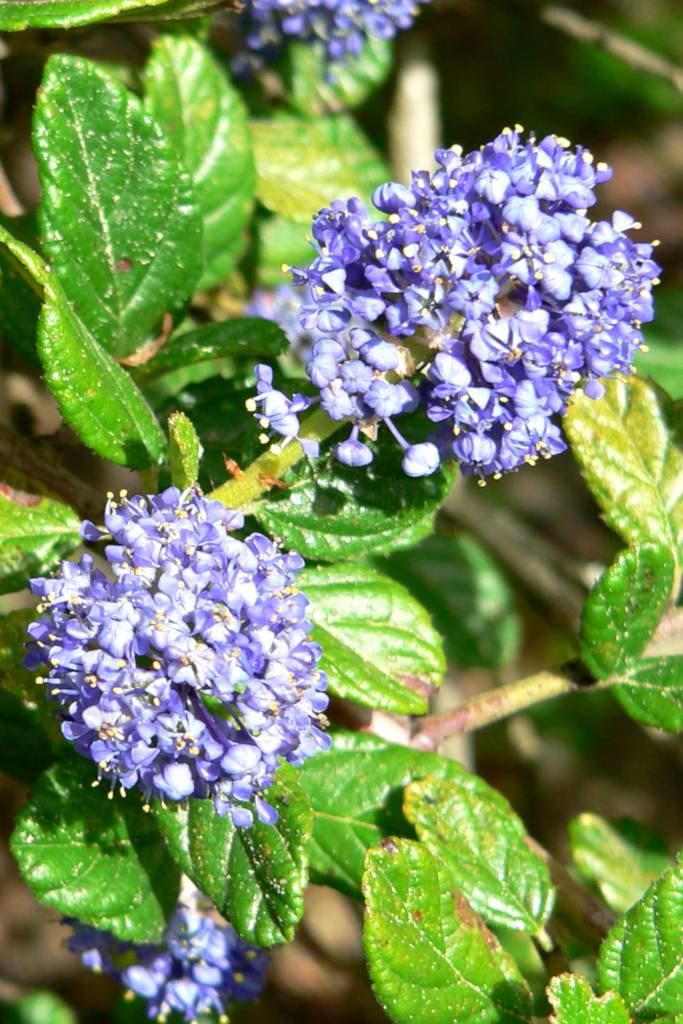Ceanothus, a wonderful blue flower shrub