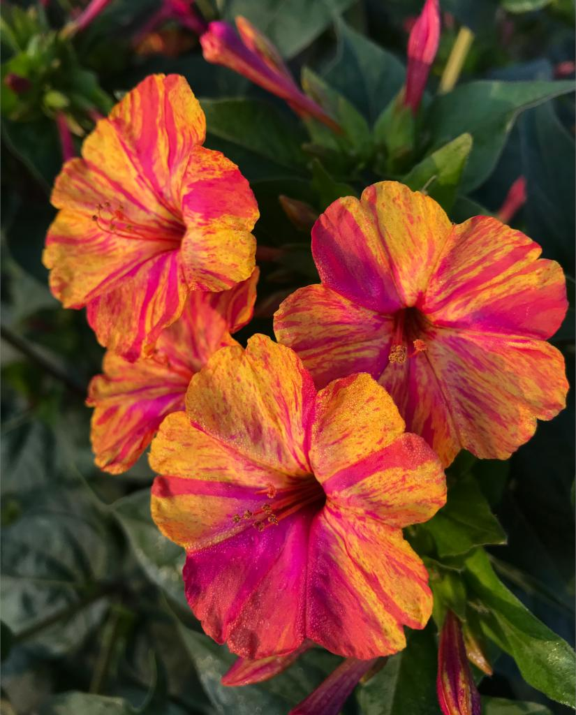Deep-throated mirabilis jalapa flowers shine in golden yellow and red hues at sunset.