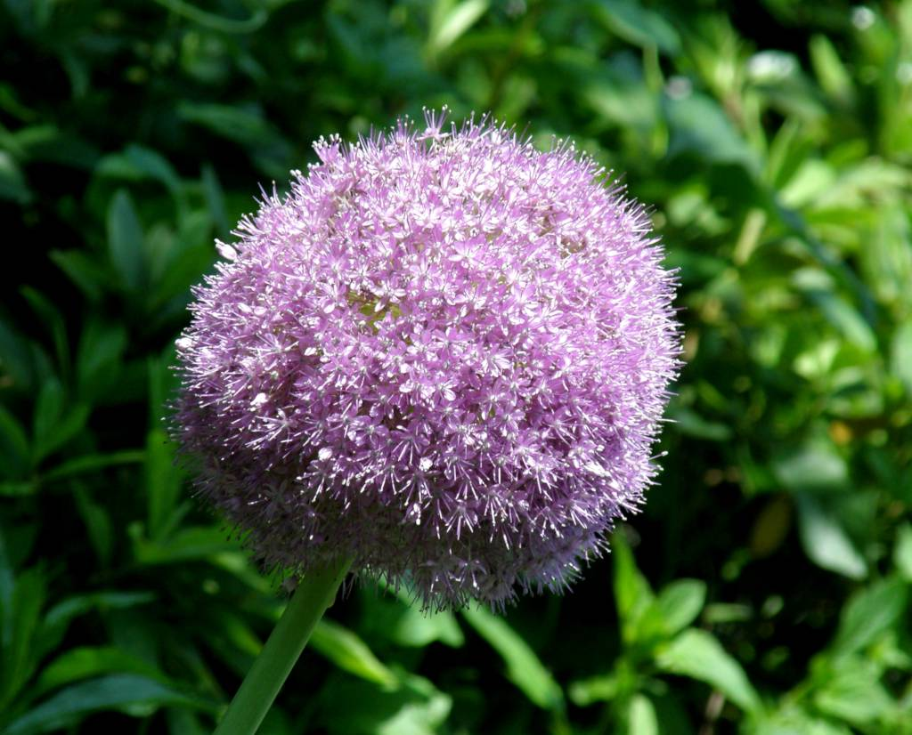 A single pale purple ornamental onion bloom