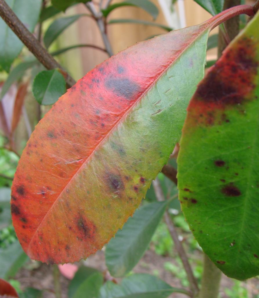 Lead spot on a young red and green photinia leaf.