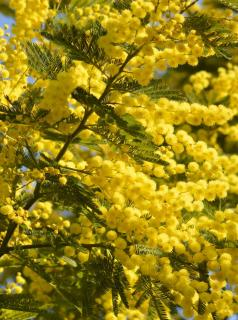 Acacia dealbata in full bloom with yellow flowers
